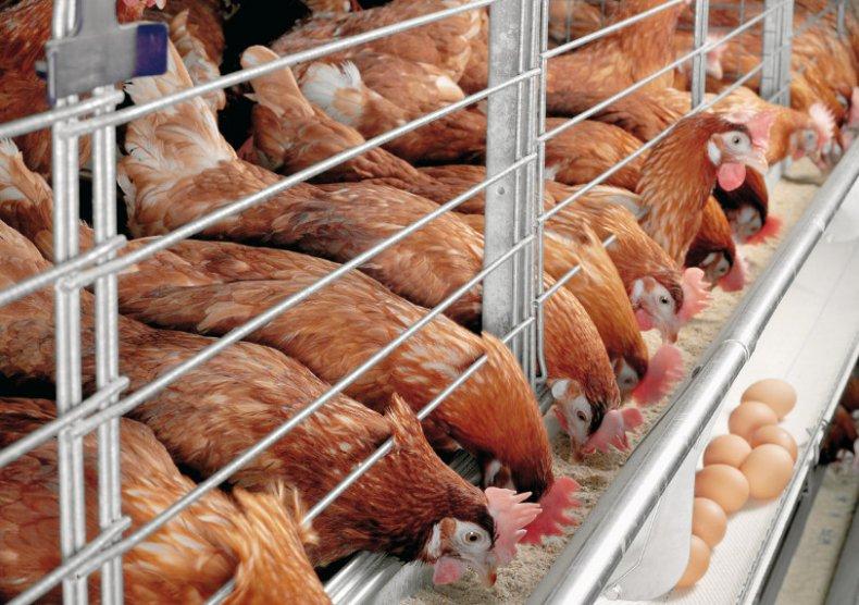 Pierderea în greutate a ochilor de păsări Zootehnie - despre pasari | Vegan în România
